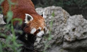 在四处出没的浣熊特写摄影高清图片
