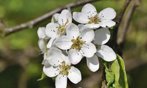 开在枝头上的白色花朵特写 澳门线上必赢赌场