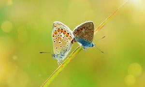 同一根草上的两只蝴蝶特写摄影图片