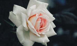 绽放的白色玫瑰花特写摄影 澳门线上必赢赌场