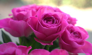 色彩艳丽的玫瑰花特写摄影 澳门线上必赢赌场