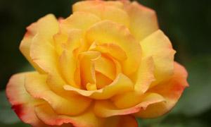 花期盛开的玫瑰花特写摄影 澳门线上必赢赌场