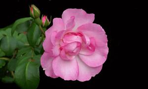 花苞与粉红色的玫瑰花特写摄影图片