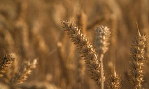 农田里成熟的成熟麦穗特写高清图片