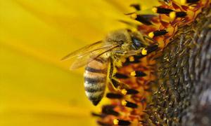 忙着采蜜的小蜜蜂特写摄影高清图片