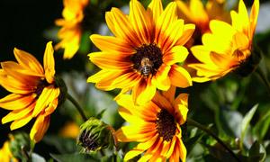 在花开时节采蜜的蜜蜂摄影高清图片