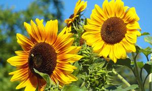 两朵盛开的向日葵特写摄影 澳门线上必赢赌场