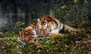 草地上休憩的一只老虎摄影高清图片