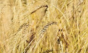农田里成熟的大麦麦穗特写高清图片
