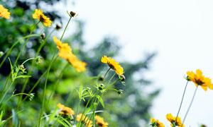 美丽的菊花近景摄影图片
