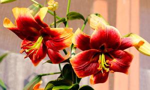 盛开的百合花近景摄影图片