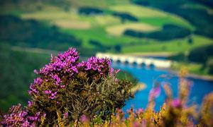 紫色的小野花近景摄影图片