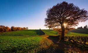 清晨田间美丽的大树摄影图片