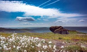 山顶白色的蒲公英和石头摄影图片