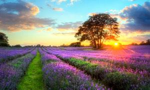 夕阳下的薰衣草庄园摄影图片