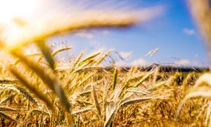 陽光下美麗的成熟麥穗攝影圖片