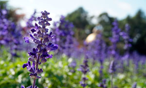 美丽的薰衣草近景摄影图片
