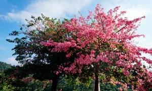 美丽的红色大树高清摄影图片