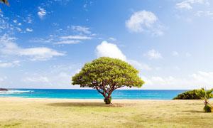 蓝天白云下大树美景摄影图片