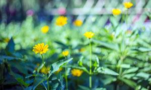 黄色小菊花近景高清摄影图片