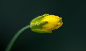 带露珠的油菜花近景摄影图片