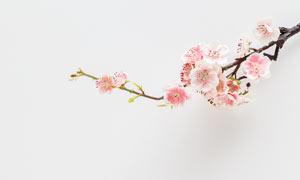 纸张上的梅花花枝摄影图片