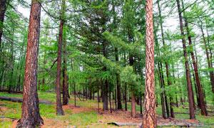 森林松柏树木景观高清摄影图片