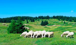 山坡草原上的牧羊群摄影图片