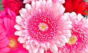 盛开的非洲菊花美景摄影图片