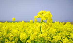 黄色的油菜花近景摄影图片