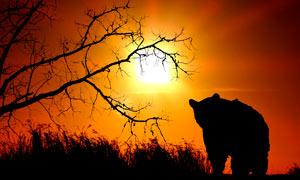 夕阳下的熊和枯树剪影摄影图片