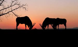 夕阳下的树枝和羚羊剪影摄影图片