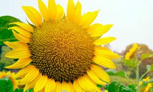 美丽的向日葵近景摄影图片