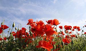 蓝天下的罂粟花高清摄影图片