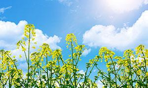 春季阳光下的油菜花高清摄影图片