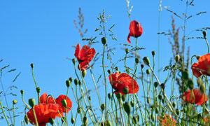 蓝天下的罂粟花摄影图片