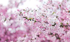 粉色的樱花花枝高清摄影图片