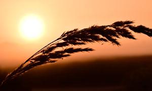 夕阳下的芦苇剪影摄影图片