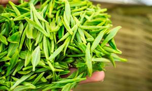 春季刚刚采摘的茶叶摄影图片