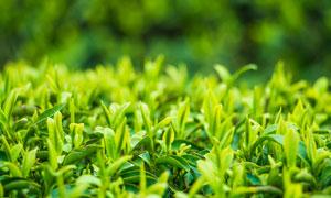 春季茶园幼芽近景摄影图片
