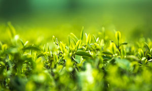 春季茶园幼芽特写高清摄影图片