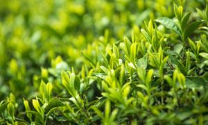春季茶园幼芽近景特写摄影图片