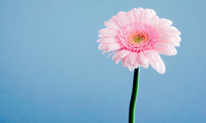 粉色非洲菊近景摄影图片