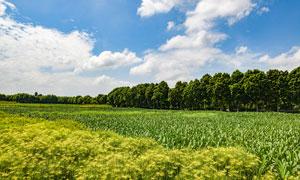 蓝天白云下的玉米地高清摄影图片