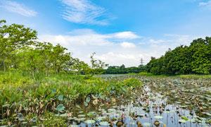 茶山镇湿地公园荷花池摄影图片