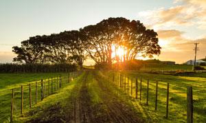 夕陽下的農村道路和大樹攝影圖片