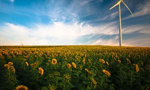 藍天下的向日葵和風車攝影圖片