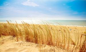 蓝天下的海边沙滩和草丛摄影图片
