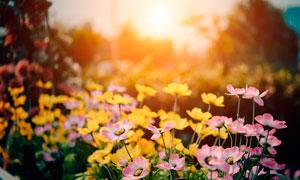 美丽的粉色花朵逆光摄影图片