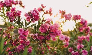 粉红色月季花高清摄影图片